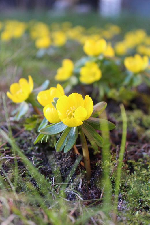 Erantis blomstrer ved Imbolc